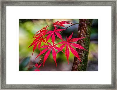 Autumn Japanese Maple Framed Print by Ken Stanback