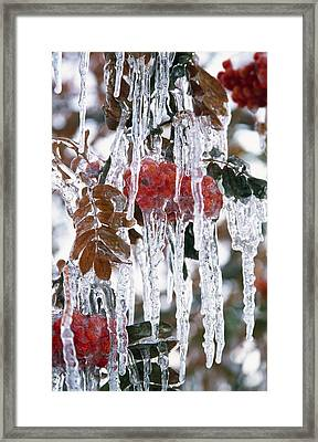 Autumn Leaves Covered In Ice Framed Print by Natural Selection Craig Tuttle