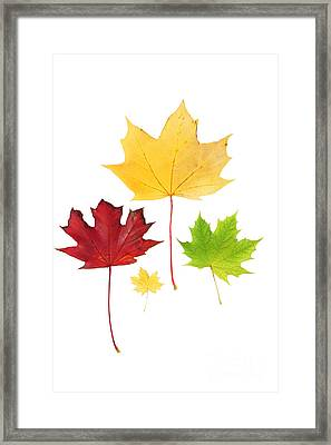 Autumn Leaves Isolated Framed Print