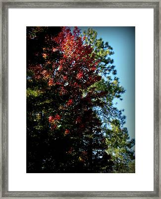 Autumn Maple And Ponderosa Pines Framed Print by Aaron Burrows