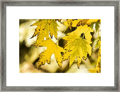 Autumn Maple Leaves Framed Print by James BO  Insogna