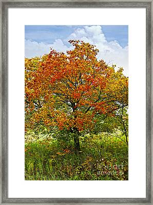 Autumn Maple Tree Framed Print by Elena Elisseeva