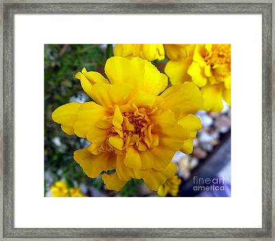 Autumn Marigold 1 Framed Print by Alys Caviness-Gober