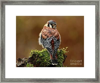 Autumn Rain American Kestrel Framed Print by Inspired Nature Photography Fine Art Photography