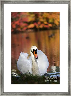 Autumn Swan Framed Print by Leslie Leda