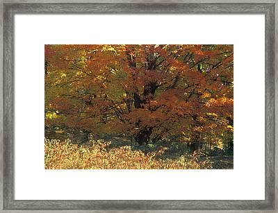Autumn Tree Framed Print by David Chapman