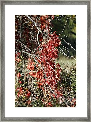 Autumns Red Vines Framed Print