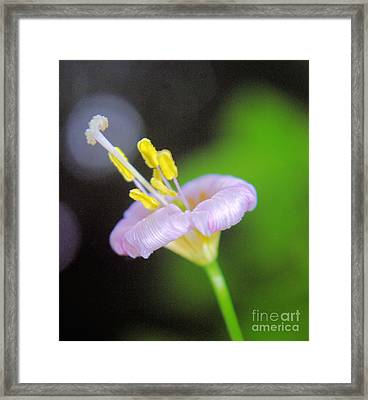 Avalanch Lily  Framed Print