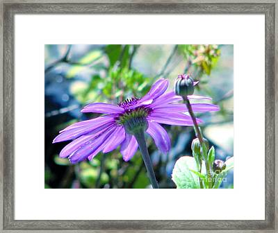 Avatar's Pericallis Framed Print by Rory Sagner