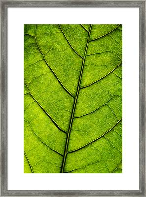 Avocado Leaf 1 Framed Print by Jessica Velasco