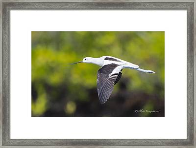 Avocet Flight Framed Print