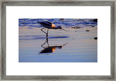 Avocet In The Dim Light Framed Print by Catherine Natalia  Roche
