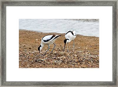 Avocets At Nest Framed Print