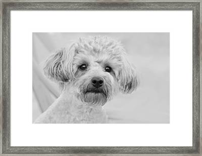 Awesome Abby The Yorkie-poo Framed Print by Kathy Clark