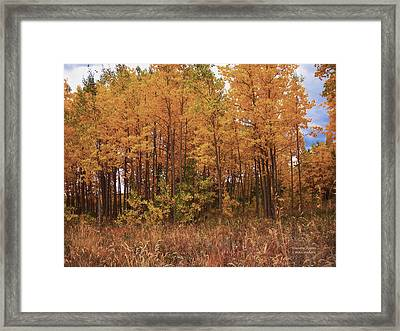 Awesome Aspens Framed Print
