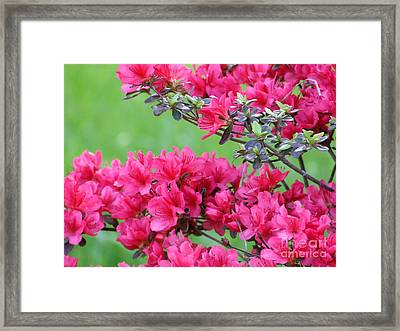 Framed Print featuring the photograph Azalea by Andrea Anderegg