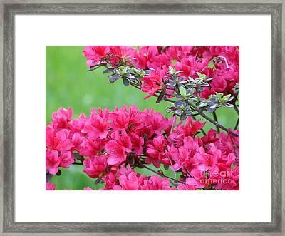 Azalea Framed Print by Andrea Anderegg