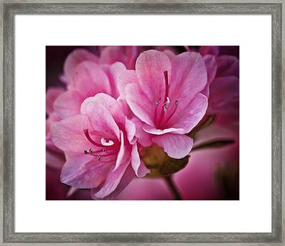 Azalea Fission One Framed Print by Michael Putnam