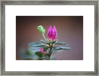 Azalea Framed Print by Timothy Turner