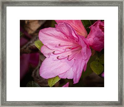 Azalea Up Close And Personal Framed Print by Michael Putnam