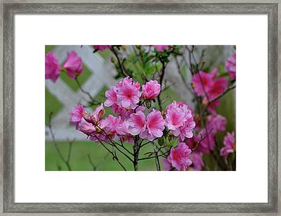 Framed Print featuring the photograph Azaleas by Helen Haw