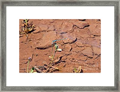 Azure Blue Damselfly Framed Print