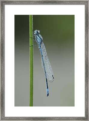 Azure Damselfly Framed Print by Andy Astbury