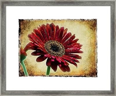 Baberton Daizy Framed Print by Ronel Broderick