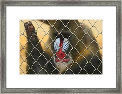 Baboon Behind Bars Framed Print by Kym Backland