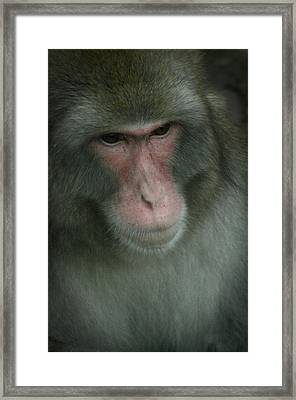 Baboon Framed Print by Cindy Haggerty