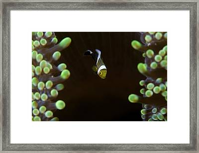 Baby Anemon-fish Framed Print by Nature, underwater and art photos. www.Narchuk.com