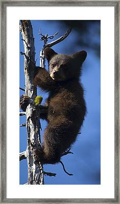 Baby Bear Framed Print by Clinton Nelson