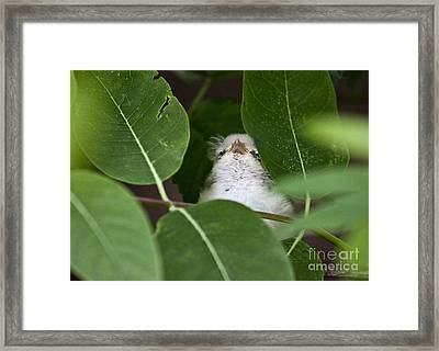 Baby Bird Peeping In The Bushes Framed Print by Jeannette Hunt