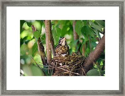 Baby Birds Framed Print by CJ Clark