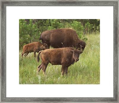 Baby Buffalo Framed Print