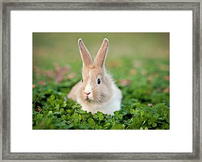 Baby Bunny In Clover Field Framed Print by Beth Simmons Photography