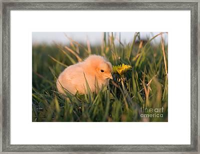 Baby Chick In Green Grass Framed Print by Cindy Singleton