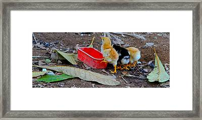 Baby Chickens Framed Print