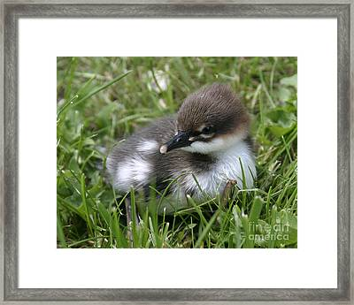 Baby Common Merganser II Framed Print