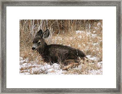 Framed Print featuring the photograph Baby Deer At Rest by Nola Lee Kelsey