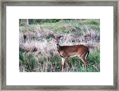 Framed Print featuring the photograph Baby Deer At Viera by Jeanne Andrews