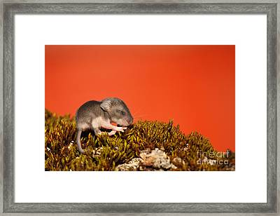 Baby Deer Mouse On Moss Framed Print by Max Allen