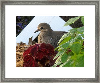 Baby Dove Framed Print by Kimberly Mackowski