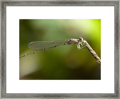 Baby Dragonfly Framed Print by Terry Eve Tanner