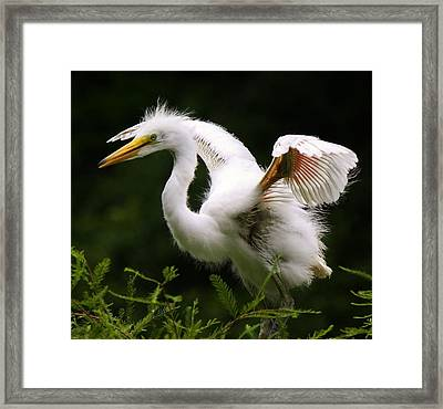 Baby Egret Wings Framed Print by Paulette Thomas