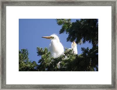 Baby Egrets Framed Print