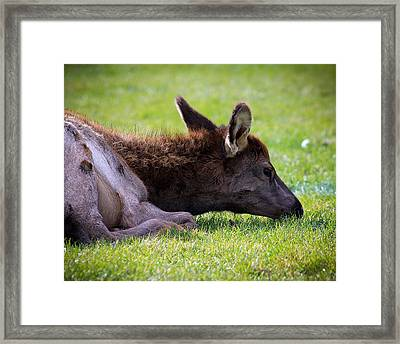 Framed Print featuring the photograph Baby Elk by Steve McKinzie