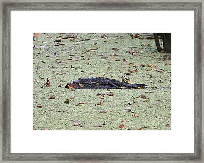 Baby Gator In The Swamp Framed Print