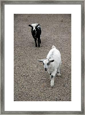 Baby Goats Framed Print