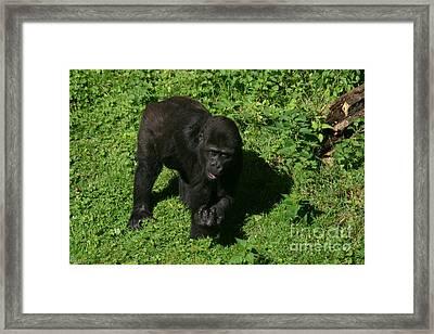 Baby Gorilla Find Own Feet Framed Print by Carol Wright